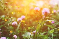Summer time. Blooming clover on the background of a sunny sunset.