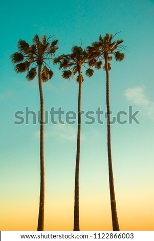 Summer tropical island paradise background. Three very high Mexican fan palm trees (Washingtonia Filifera) on sunsetting light backdrop. Californian beach landscape wallpaper - vintage design.