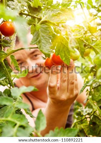 Summer vegetable garden concept with gardener harvesting ripe tomatoes.