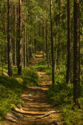 Summer view of a walking path passing a beautiful pine and fir forest in Sweden, with blueberry sprigs on the ground and summer sunlight