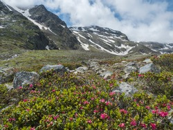 Summer view of alpine landscape with snow-capped mountain peaks and pink blooming Rhododendron flowers. Tyrol, Stubai Alps, Austria