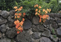 Summer view of orange color buds of trumpet creeper(Campsis grandiflora) on volcanic stonewall at Jeju-si, Jeju-do, South Korea