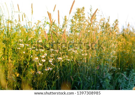 Summer yellow flowers and different herbs on the meadow. Wildflower meadow, flower meadow, wildflowers. Summer nature backgrounds. #1397308985