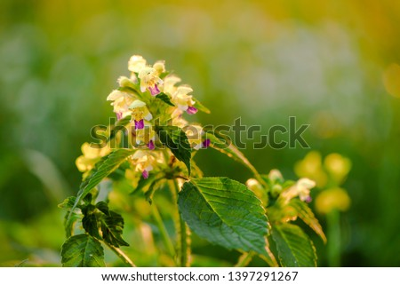 Summer yellow flowers Antirrhinum on the meadow. Wildflower meadow, flower meadow, wildflowers #1397291267