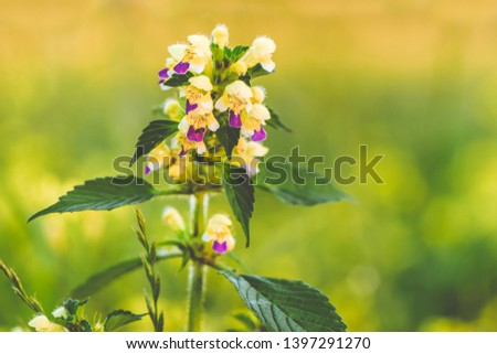 Summer yellow flowers Antirrhinum on the meadow. Wildflower meadow, flower meadow, wildflowers #1397291270
