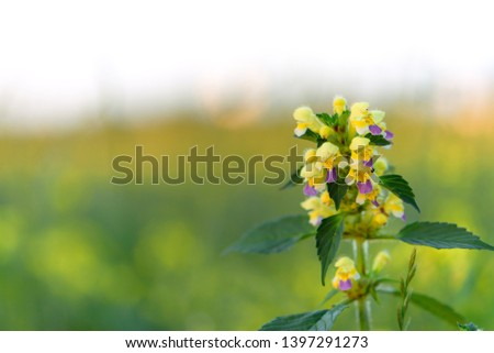 Summer yellow flowers Antirrhinum on the meadow. Wildflower meadow, flower meadow, wildflowers #1397291273