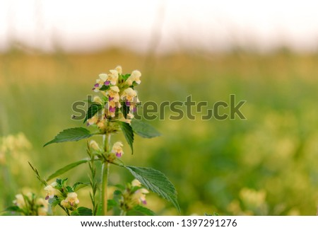 Summer yellow flowers Antirrhinum on the meadow. Wildflower meadow, flower meadow, wildflowers #1397291276