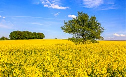 Summer yellow meadow flowers landscape. Lonely tree in yellow meadow flowers. Meadow flowers lonely tree view. Summer meadow flowers tree scene