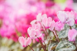 Summertime.  cyclamen flowers on Sunny summer day. Pink Cyclamen coum ( eastern sowbread ) and Cyclamen hederifolium ( ivy-leaved cyclamen or sowbread ) flowers on sunny bokeh