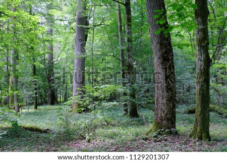 Summertime deciduous primeval forest with old oak tree in background andmaple and hornbeam in foreground, Bilowieza Forest, Poland, Europe #1129201307