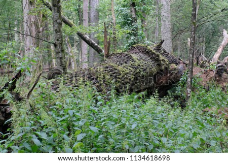 Summertime deciduous primeval stand with old broken oak tree  in background, Bialowieza Forest, Poland, Europe #1134618698