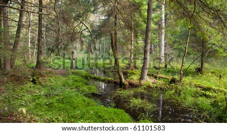 Summertime look of swampy stand with little stream flowing across