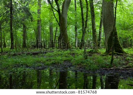Summertime midday in wet deciduous stand of Bialowieza Forest with standing water in foreground