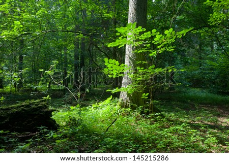 Summertime mixed stand of Bialowieza Forest with single spruce tree in foreground in sun of midday