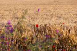 Summertime: poppies over wheat field . Apulia (Italy).