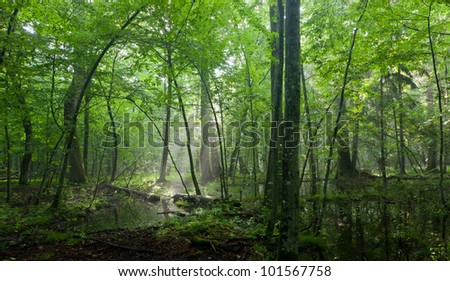 Summertime sunrise in wet deciduous stand of Bialowieza Forest with broken tree lying and standing water