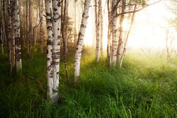 Summery birch grove during a foggy sunrise in Oulanka National Park, Northern Finland.