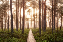 Summery hiking trail through a bog in the morning foggy sunrise in Soomaa National Park, Estonian nature, Northern Europe