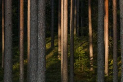 Summery lush Pine grove boreal forest in the evening in Estonian wild nature, Northern Europe.