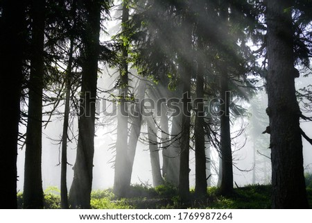 sun and fog on the morning in the spruce forest in summer