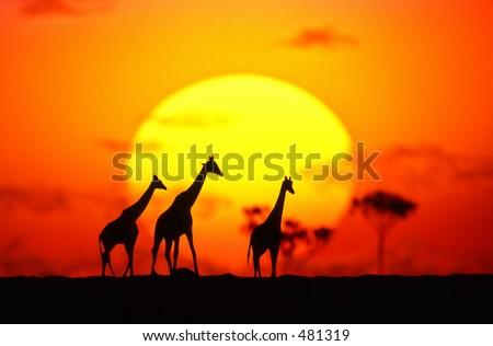 Sun and giraffe family