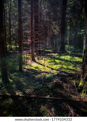 Sun beams in a dark pine tree forest in Kaluga region in the middle of summer.