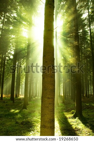 Sun beams showing through a pine forest.