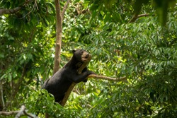 Sun Bear on a tree branch between leaves at Bprnean Sun Bear Conservation Centre Sepilok in Sabah, Borneo, Malaysia