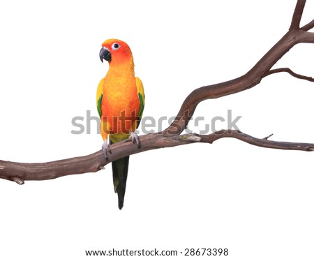 Sun Conure Parrot on a Tree Branch Isolated on White Background