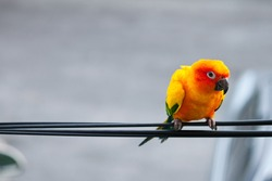 sun conure parrot on cable line