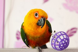 Sun conure parrot playing with a ball