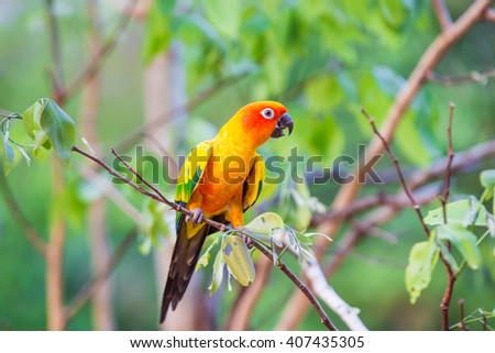 Sun Conure Parrots with nature background