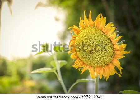sun flower - Shutterstock ID 397211341