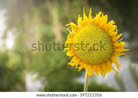 sun flower - Shutterstock ID 397211356