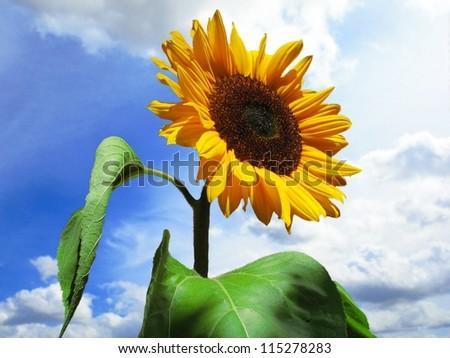 sun flower against a blue sky