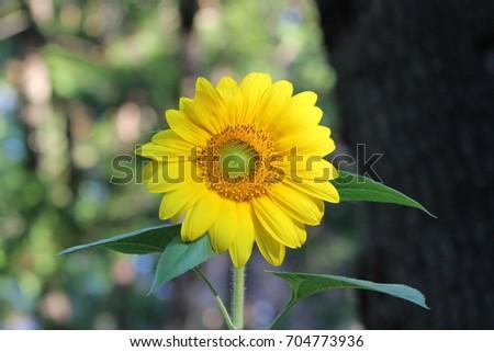 sun flower Alta Ca. August twenty six twenty seventeen. USA, #704773936