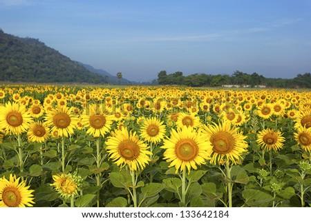 Sun flower farm and mountain