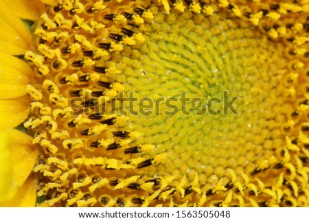 Sun Flower  Helianthus annuus, the common sunflower, is a large annual forb of the genus Helianthus grown as a crop for its edible oil and edible fruits.