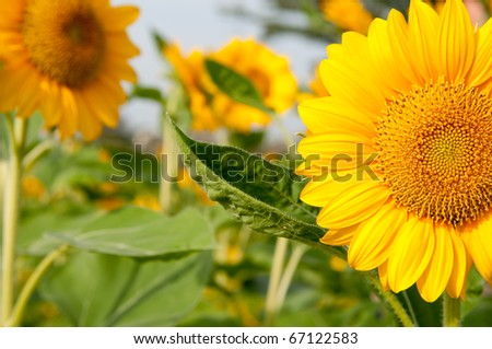 Sun Flower in the Garden Thailand