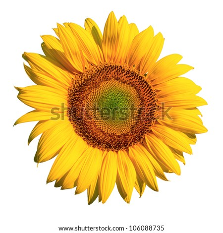 Sun flower isolated on white
