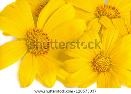 sun flower on white background.