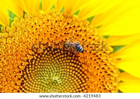 Sun-flowers and bee