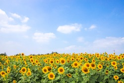 sun flowers field in Thailand. sunflowers.