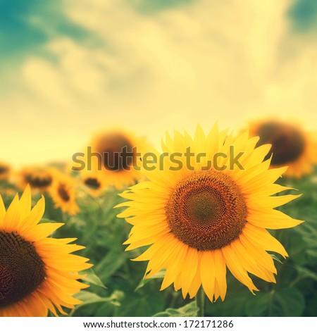 sun flowers in field  image...