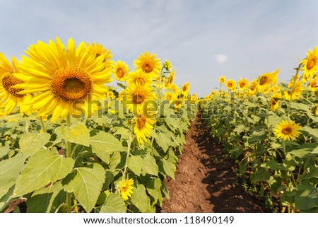 Sun flowers in the countryside