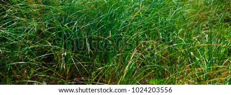 Sun Glistening, Green Bladed Bushy Textured Grass with a Touch of Yellow Nature Background, Taken at Montagu Beach, Nassau, The Bahamas