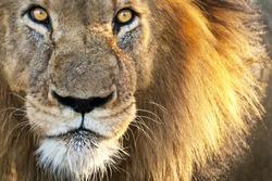Sun Kissed Male Lion Close-up