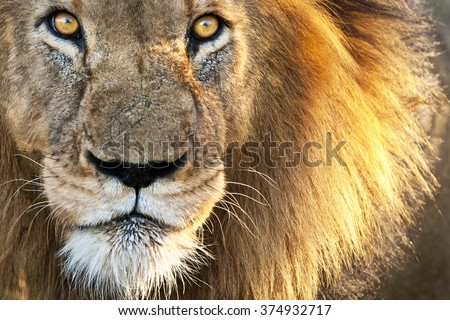 stock photo sun kissed male lion close up 374932717 - Каталог — Фотообои «Животные»