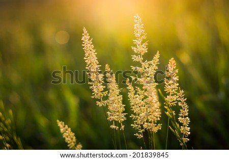 Sun Lit Tall Wild Grass Stalks Growing stock photo
