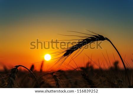 sun over grain field in summer
